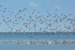 Dunlins in flight Royalty Free Stock Photography