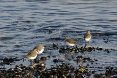 Dunlins and mussels Royalty Free Stock Image