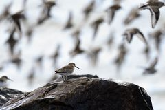 Dunlins Royalty Free Stock Images