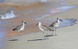 Dunlins que andan a trancos abajo de la playa en la reflexión del velero Foto de archivo