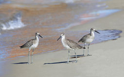 Dunlins Striding Down the Beach In the Reflection of Sailboat Stock Photo