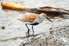 dunlinshorebird Royaltyfria Foton