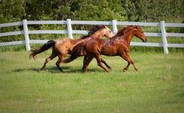 Dunn et cheval de châtaigne galopant dans le pâturage Photos libres de droits