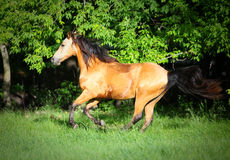 Dunn Horse galloping on hill Royalty Free Stock Photography