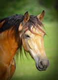 Dunn Horse head shot Royalty Free Stock Photography