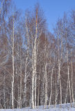 Dunne berken De winter Royalty-vrije Stock Foto's