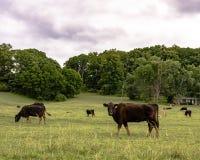 Dunne commerciële koeien op de lenteweiland stock afbeelding