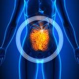 Dunne darm - Vrouwelijke Organen - Menselijke Anatomie royalty-vrije illustratie