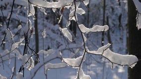 Dunne die boomtakken met dikke laag van verse sneeuw worden behandeld stock videobeelden