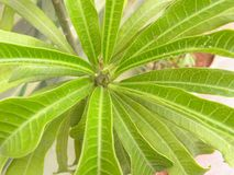 Dunne groene en witte kleurenbladeren van Croton-installatie Royalty-vrije Stock Afbeeldingen