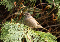 Dunnock. Portrait of a male Dunnock Royalty Free Stock Image