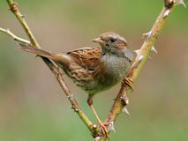 Dunnock. (Prunella modularis) getting ready to take of. It has greenish reflection from grass on his underparts royalty free stock photos