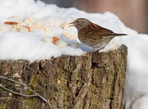 Dunnock. Standing in Snow in Geneva Switzerland Stock Photography