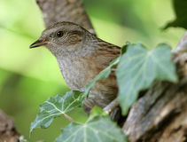 Dunnock Fotos de Stock Royalty Free