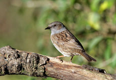 Dunnock. Portrait of a male Dunnock Stock Images