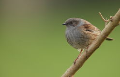 Dunnock. Royalty Free Stock Images