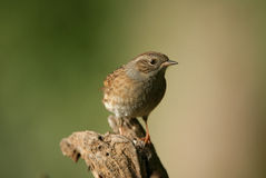 Dunnock. Portrait of a young Dunnock Royalty Free Stock Images