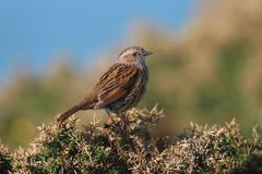 Dunnock foto de stock royalty free