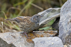 Dunnock Stock Photo