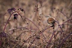 Dunnock Стоковое Фото