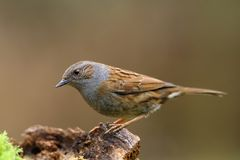 Dunnock bird   Royalty Free Stock Images