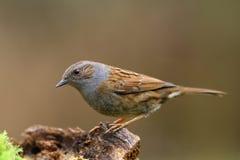 Dunnock bird. Dunnock bird on the branch Royalty Free Stock Images