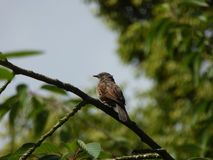 Dunnock Bird on Branch Stock Photo