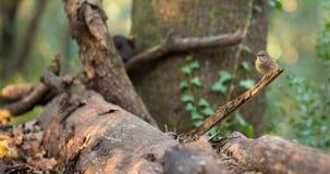 Dunnock bird in European Forest Stock Photography