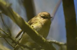 Dunnock bird Stock Image