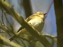 Dunnock bird Stock Photo