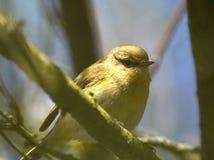 Dunnock bird Royalty Free Stock Photography