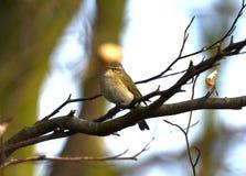 Dunnock bird Royalty Free Stock Photo