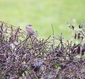 Dunnock bird perched on bramble hedge Stock Photos