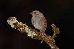 Dunnock bird. Stock Images