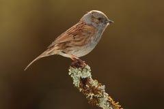 Dunnock bird. Stock Photography