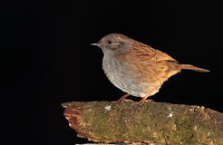 Dunnock bird. Royalty Free Stock Images