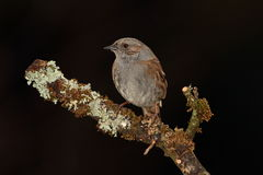 Dunnock bird. Royalty Free Stock Photography
