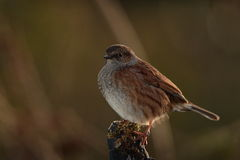 Dunnock bird. Stock Photo