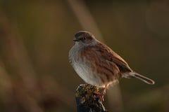 Dunnock bird. Stock Photo