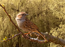 Dunnock on a Branch Royalty Free Stock Images