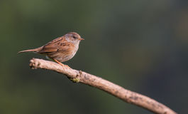 Dunnock on branch Stock Photography
