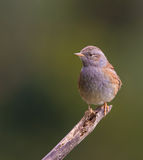 Dunnock on branch Royalty Free Stock Image