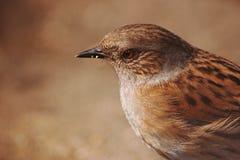 Dunnock. Brown dappled dunnock bird on brown bachground Royalty Free Stock Photography