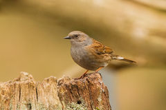 Dunnock close-up. Dunnock on a old three Royalty Free Stock Photo