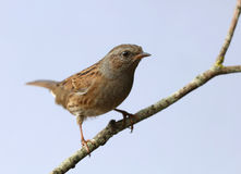 Dunnock Stock Photography