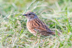 Dunnock in field Royalty Free Stock Photo