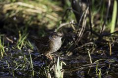 Dunnock 3. Dunnock on the Ground at water Stock Image
