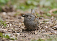Dunnock or Hedge Sparrow Stock Photos