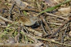 Dunnock or hedge sparrow. Prunella modularis Stock Images
