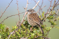 Dunnock or Hedge Sparrow, Prunella modularis, Royalty Free Stock Photography